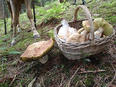Orawa, Babia Góra, Lipnica Wielka, grzyby, grzybobranie w lipcu, jazda konna na Orawie, jazda konna w lesie, jazda konna w terenie, borowik szlachetny Boletus edulis