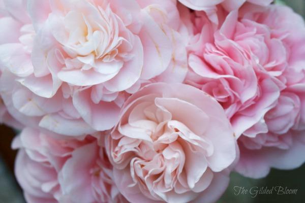 Pink Camellias www.gildedbloom.com #floralphotography