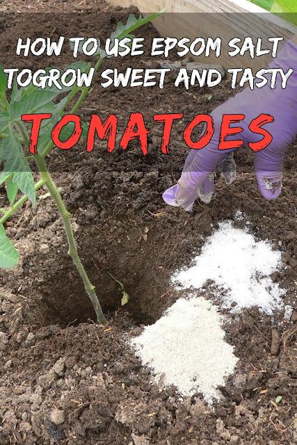 How To Use Epsom Salt Grow Sweet Tasty Tomatoes