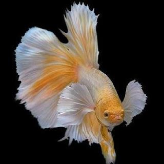 kumpulan wallpaper ikan cupang
