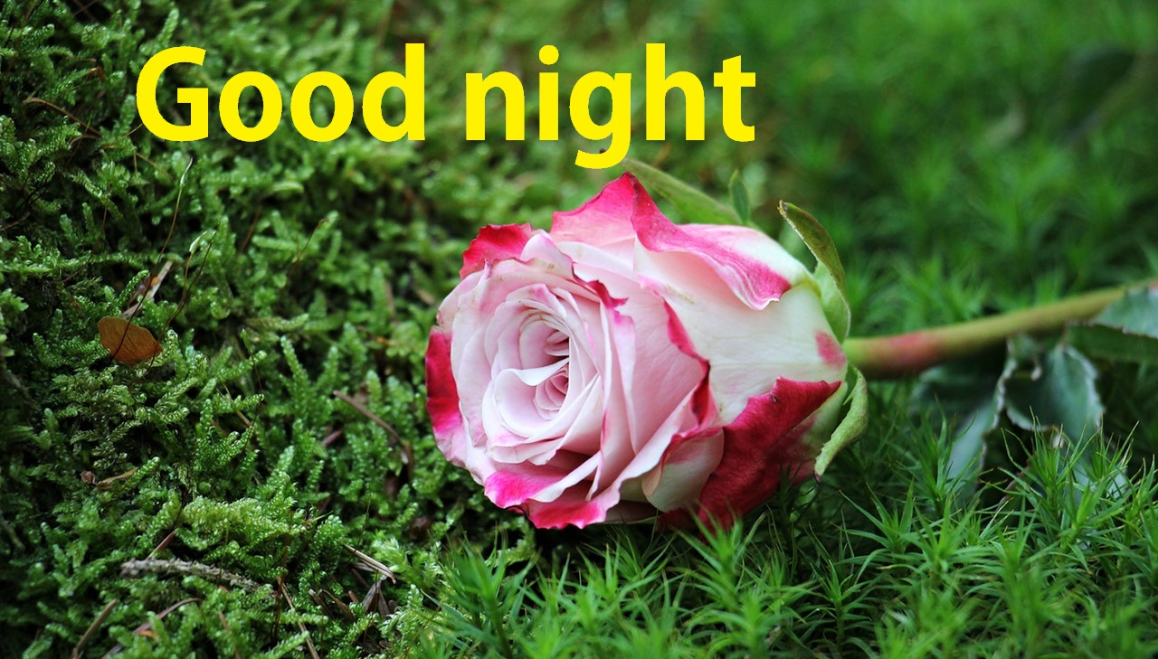 50+ Good Night Rose Flower - allwhisen