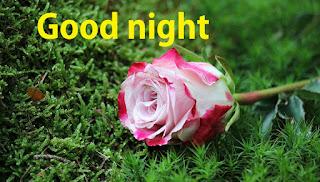 good night Pink rose