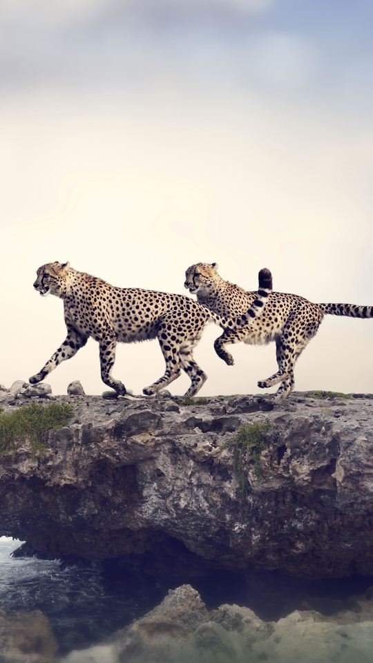 Beautiful Cheetah New 540x960 Wallpaper