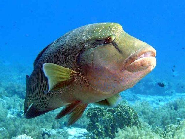 Mengenal Ikan Napoleon