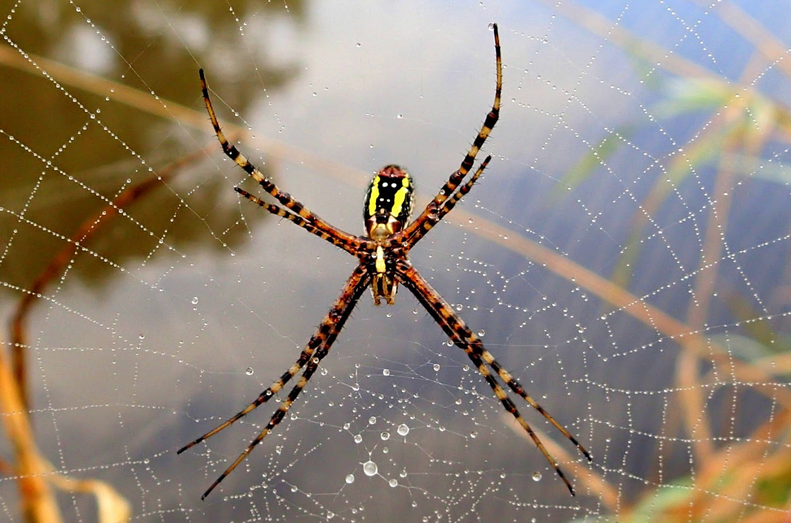 The Stream Of Time Yellow And Black Garden Spiders