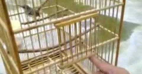 Tips Sangkar Burung Ciblek Yang Baik Serta Minimalis