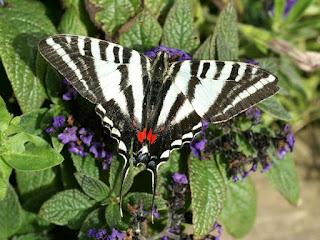 Papillon zébré - Eurytides marcellus - Protographium marcellus
