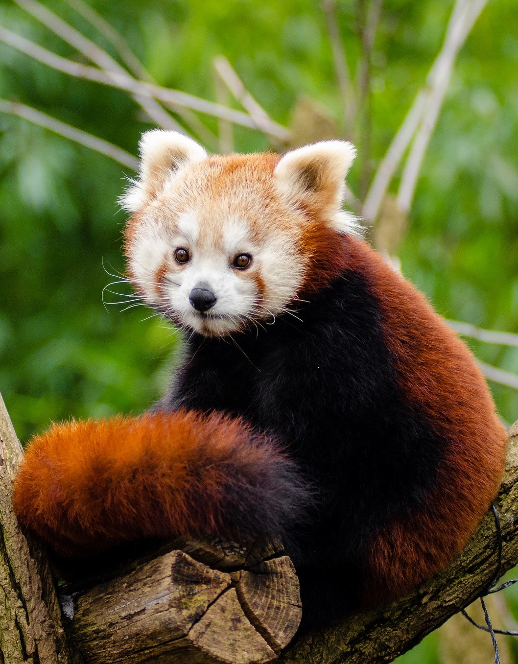 An image of a red panda.