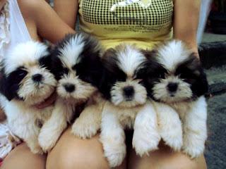 Black And White Maltese Puppies For Sale - Goldenacresdogs com