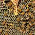 Dicas para substituir a abelha rainha da colmeia