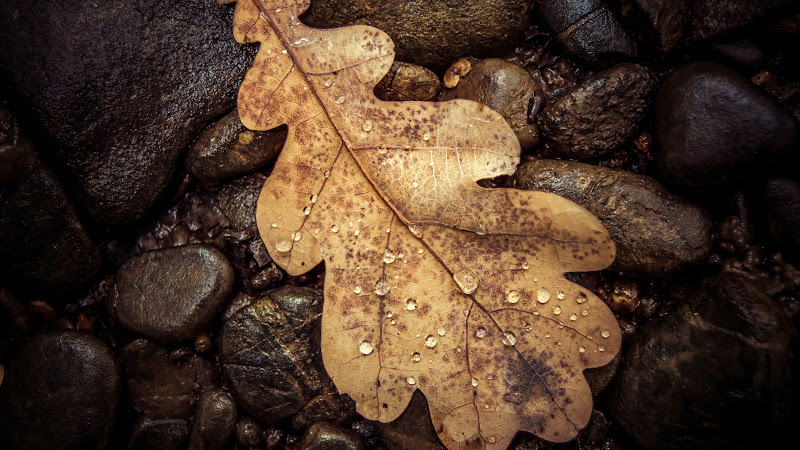 Dry Leaf and Water Drops