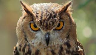 Burung Hantu memiliki bulu halus diatas kepala yang menyerupai antena