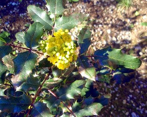 Flores de la mahonia