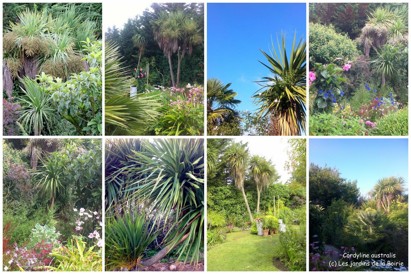 cordyline australis les jardins botaniques de la boirie. Black Bedroom Furniture Sets. Home Design Ideas