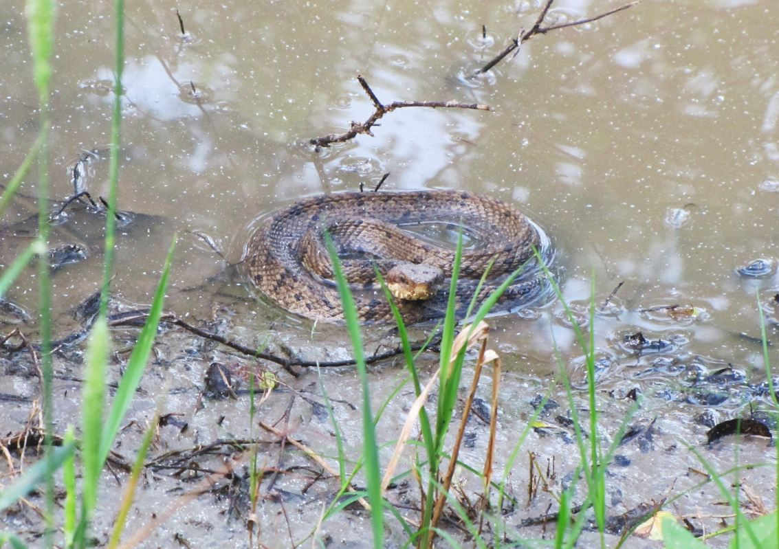 H Town West Photo Blog Snakes In George Bush Park Buffalo Bayou