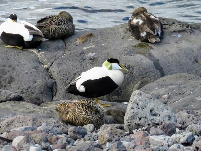 Nesting Eider Ducks on the north coast of the Seltjarnarnes Peninsula in Reykjavik Iceland