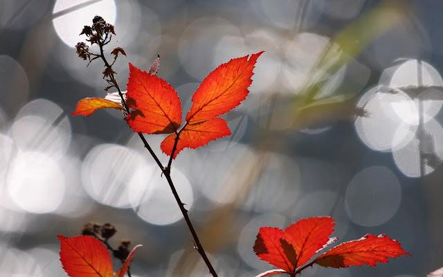 Close up foto van rode herfstbladeren