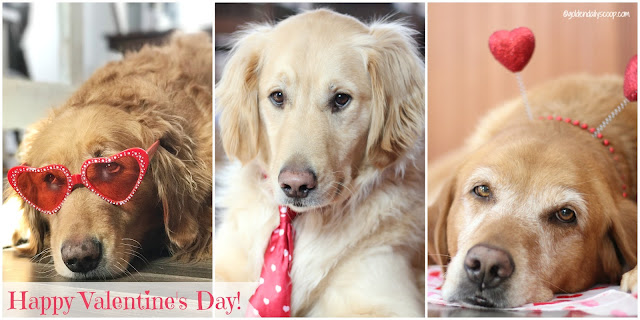 golden retriever dogs dressed up for Valentine's Day