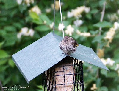 pine siskin on hopper feeder roof