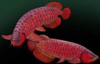 tips Cara Membedakan Ikan Arwana Jantan Dengan Betina