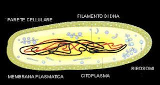 cellula procariotica