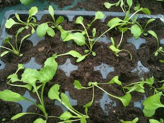 gardening, herbs, herb gardening