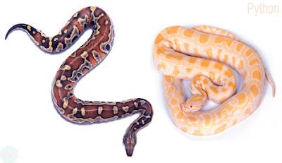 Python snake, অজগর