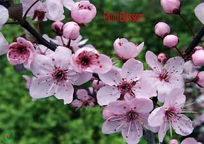 plum blossom flower, plum blossom