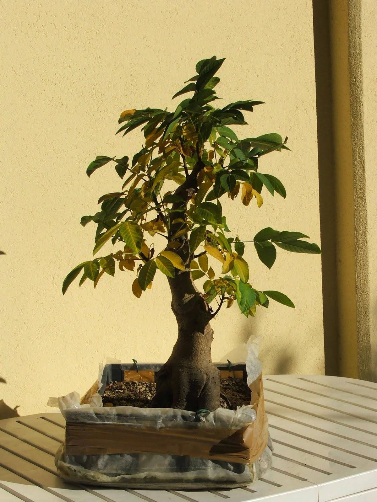 http://evoluzionebonsai.blogspot.it/2014/08/bonsai-di-noce-juglans-regia-walnut.html