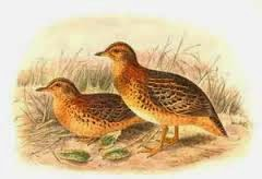 Red backed Buttonquail