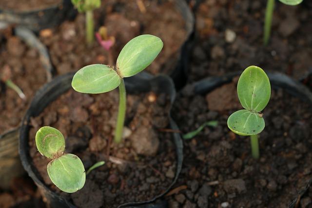 Dossier : Chambres de germination