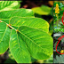 Medicinal Uses Of Cassia Alata (Acapulco)