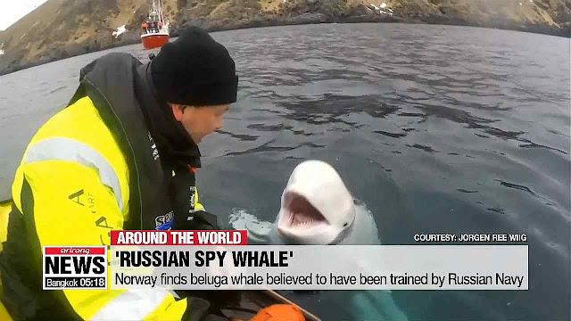 Beluga treinada se aproximando dos pescadores