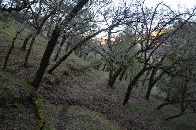 oaks on the trail