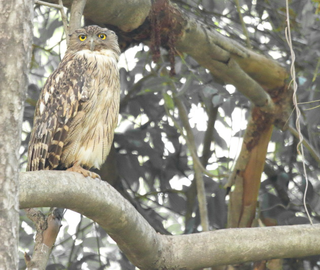 Brown Fish Owl at Tadoba Andhari Tiger Reserve