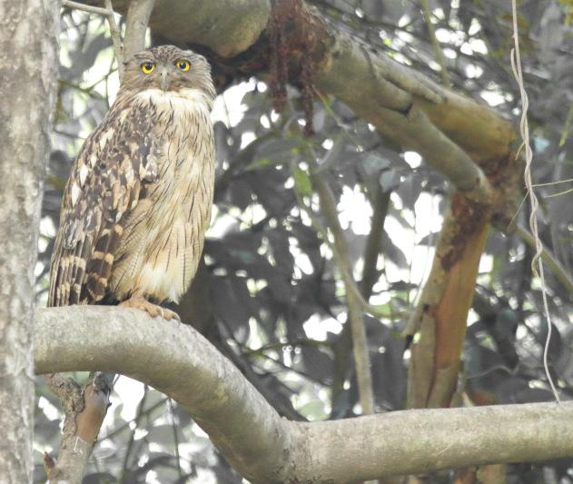 Brown Fish Owl at Tadoba Andhari Tiger Reserve