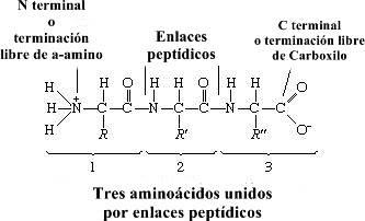 Proteína: estructura general y propiedades de las proteínas