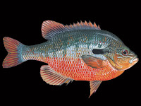 Redbreast Sunfish Pictures