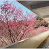 Miaoli ︱Cherry Blossoms in Xie Yun Gong Temple