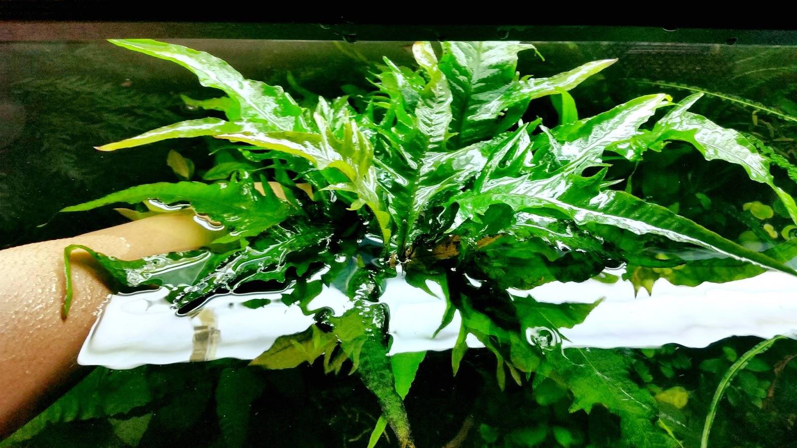 Cây thủy sinh dương xỉ Phoniex có hình dạng rất đặc biệt
