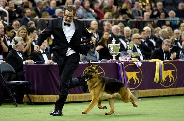 Rumor The German Shepherd Triumphs In The 2017 Westminster Dog Show