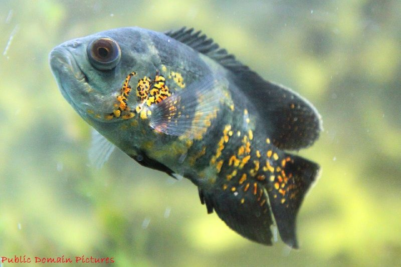 Gambar Dan Foto Manfaat Ikan Oscar Bila Anda Merawatnya Dengan Benar