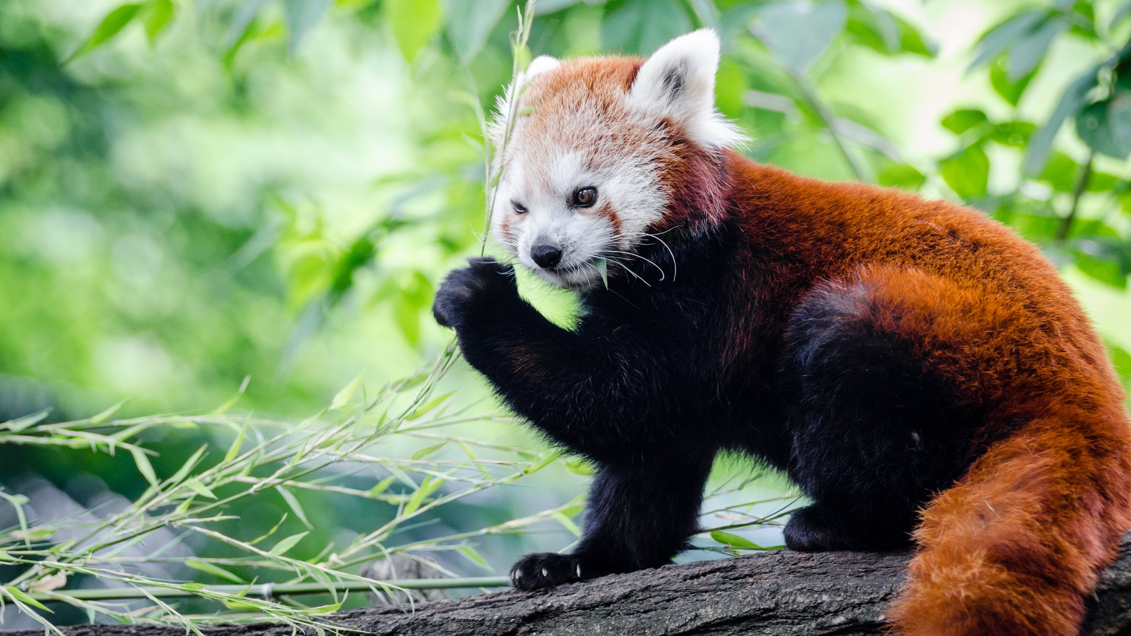 Red Panda HD Wallpapers and Backgrounds