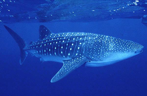 Tubarão Baleia Características Gerais do Tubarão Baleia