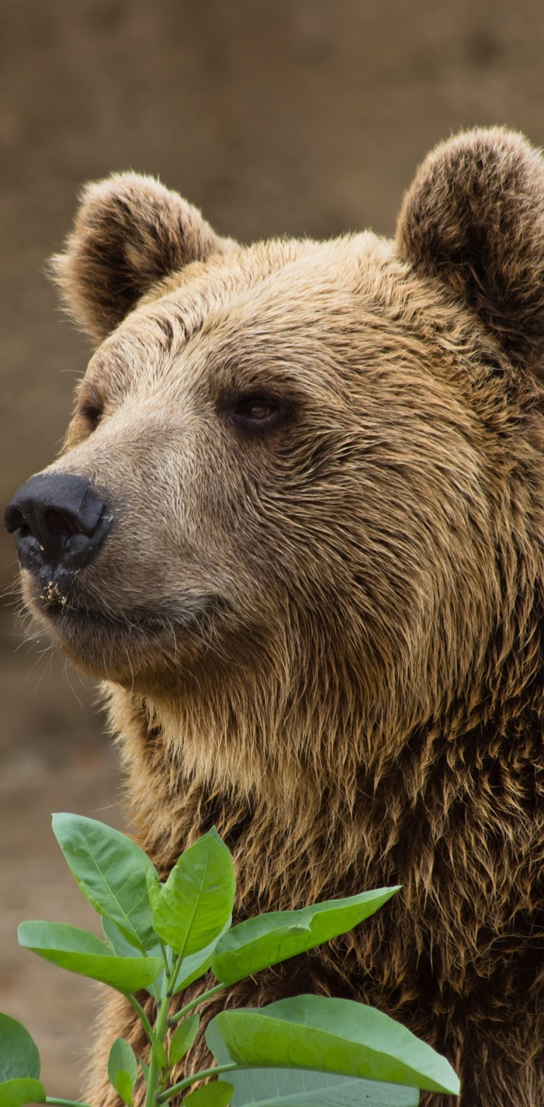 Picture of a brown bear.