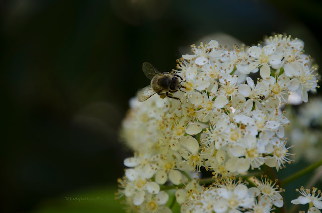 http://judy-wilder-dalton.pixels.com/featured/bee-in-the-photinia-bloom-judy-wilder-dalton.html