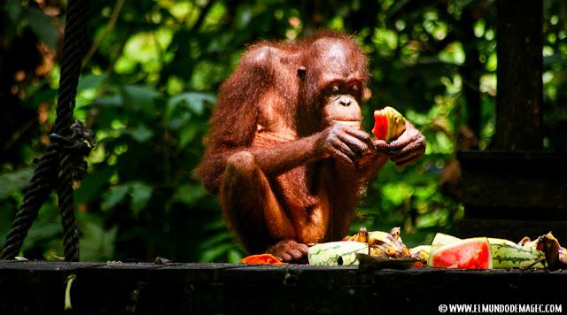 ver-orangutanes-en-borneo-sepilok-orangutan-comiendo