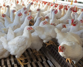 AYAM BROILER (PEDAGING)