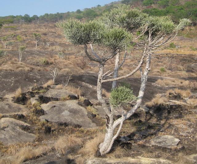 Cây Xương Khô lâu năm - Euphorbia tirucalli - Nguyên liệu làm thuốc Chữa bệnh Mắt Tai Răng Họng