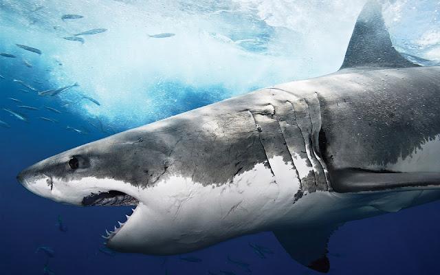 Gevaarlijke haai achtergrond